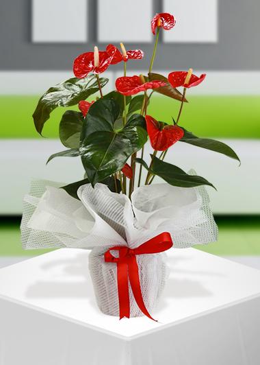 Antoryum-15 Gaziantep Çiçek Sepeti Siparişi