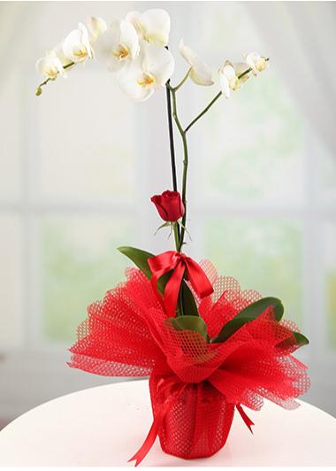Beyaz Orkide Tek Gül  Gaziantep Çiçekciler