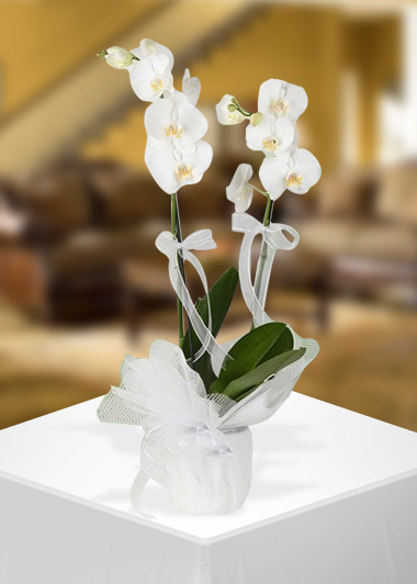 Beyaz Orkidenin Zarif Duruşu-2 Gaziantep Çiçekciler