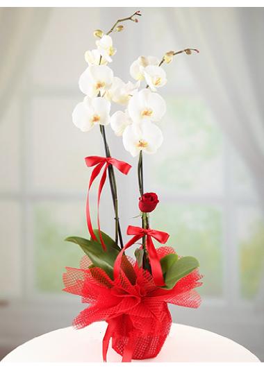 İkili Beyaz Orkide ve Tek Gül Gaziantep Çiçek Sepeti Siparişi