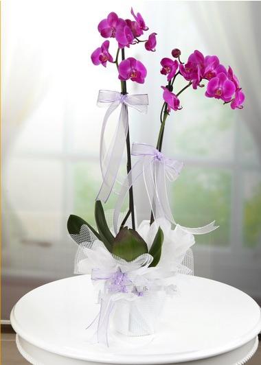 İkili Mor Orkide